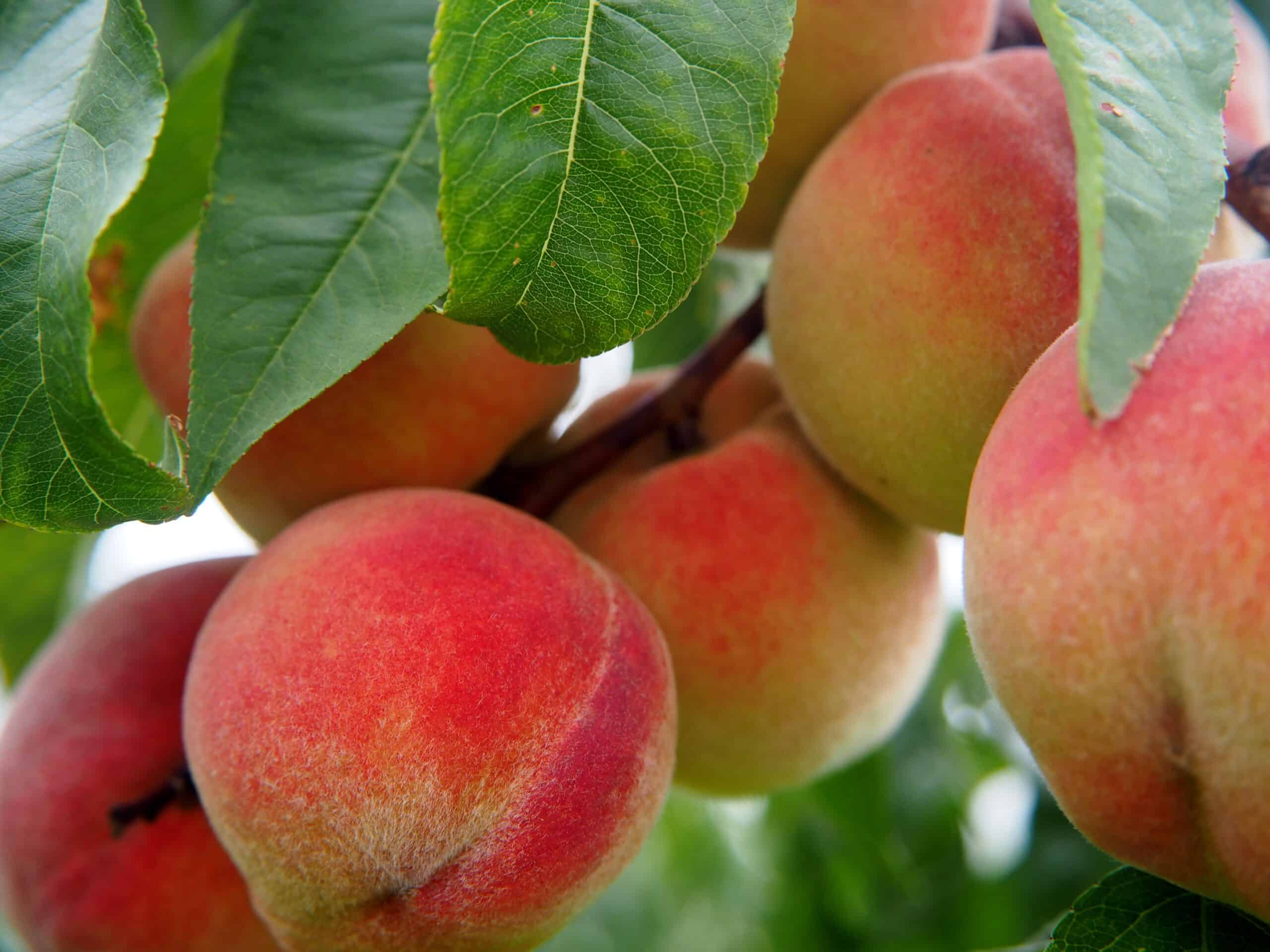 peach, fruit, fruits
