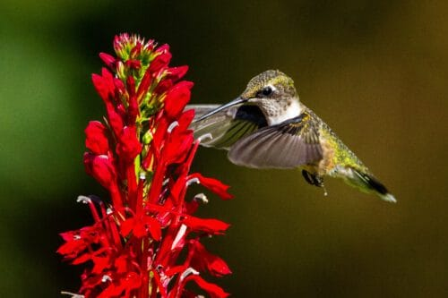 A ruby-throated hummingbird hovers next to a cardinal flower.