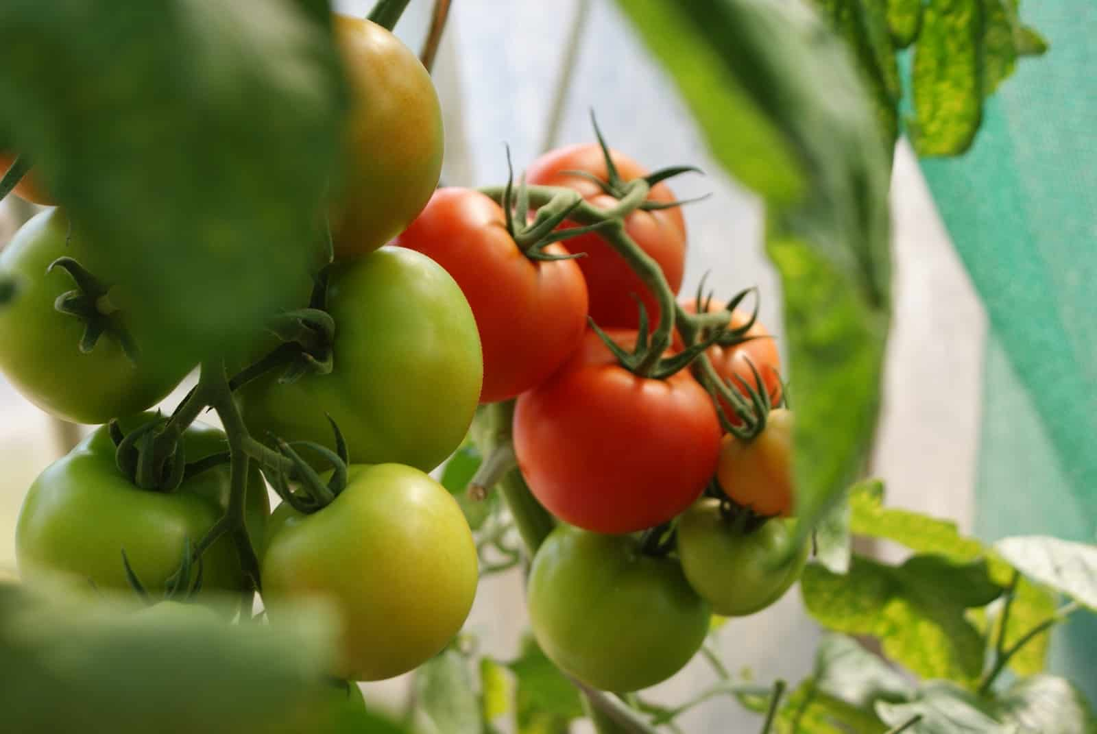green and red tomatoes close-up photo