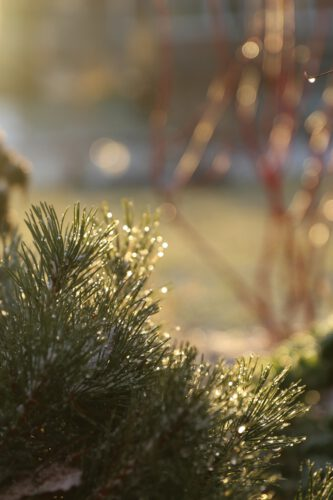 Mugo Pine bathed in morning light after freezing rain in January