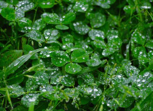 rain, trefoil, clover