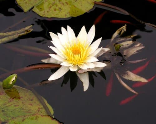 water, lily, koi